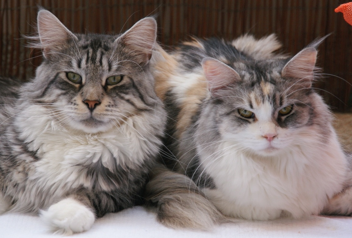Maine Coon couple